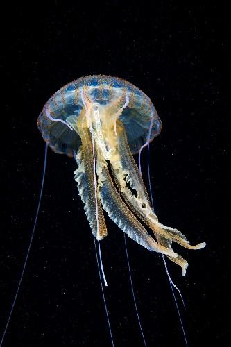 Plastic Cigarette Wrapper Found Inside a Jellyfish