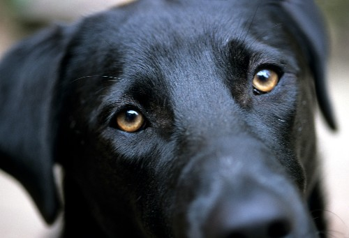 'Puppy dog eyes' evolved so dogs could communicate with us