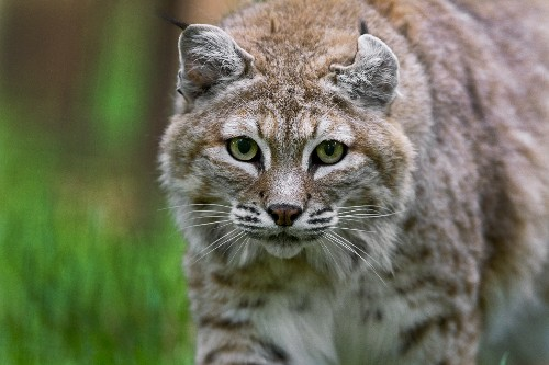Bobcat spotted roaming Washington D.C. in rare sighting