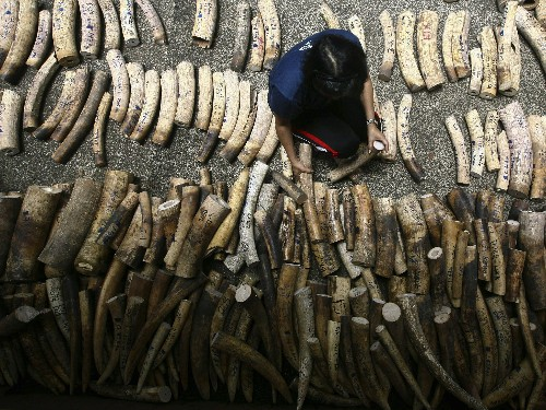 In Global First, Philippines to Destroy Its Ivory Stock