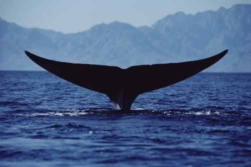 Giant Whales Have Super-Stretchy Nerves