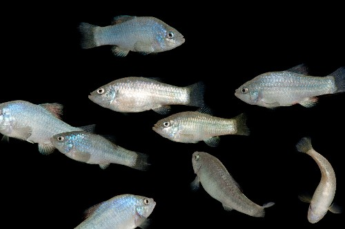 Desert-Dwelling Fish Can 'Hold Its Breath' for Five Hours