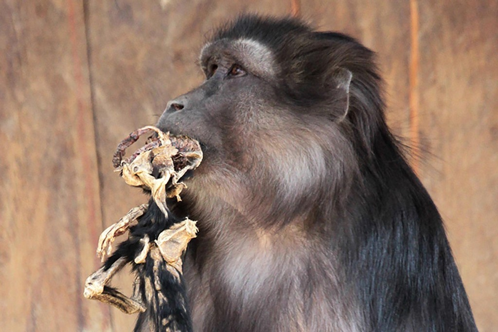 Mother Monkey Eats Mummified Baby in 'Astonishing' Case