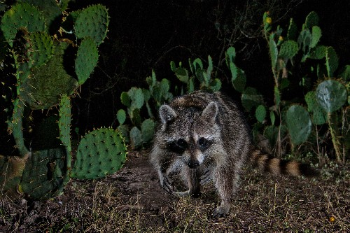 Raccoons are spreading across Earth—and climate change could help