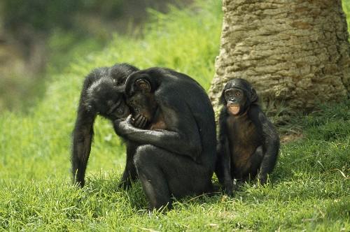 "Bonobo ""Baby Talk"" Reveals Roots of Human Language"