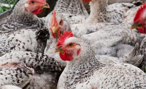 Leaky Vaccines Enhance Spread of Deadlier Chicken Viruses