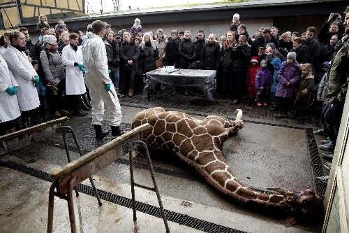 Giraffe Killing at Copenhagen Zoo Sparks Global Outrage