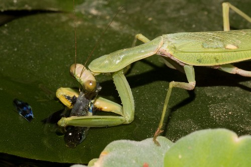 Praying Mantises Hunt and Eat Fish, in a First