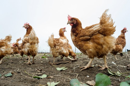 The Next Step in Animal Welfare? Breed a Better Chicken