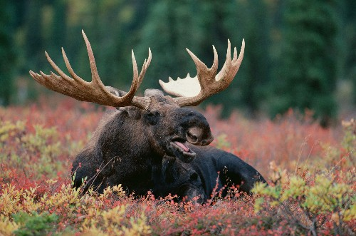Should We Be Worried About North American Moose?