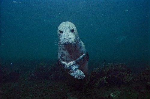 Cute Killers? Gray Seals Maul, Suffocate Seals and Porpoises, Studies Say