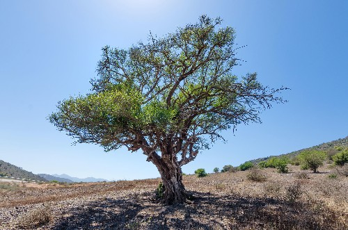 An invasive, thorny tree is taking over Africa—can it be stopped?