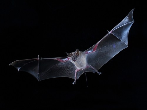 'Bag of Chips' Effect: Bats Eavesdrop on Other Bats to Find Food