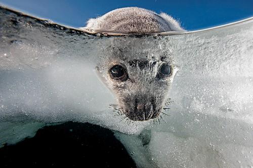 Inside the fragile world of Québec's harp seals