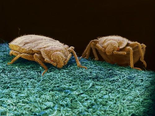 DIY Bedbug Trap: Cheap, Easy, Effective