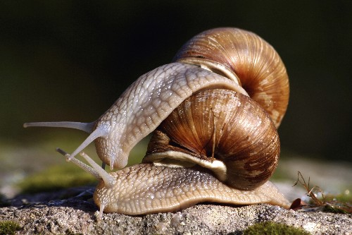 What Do Snails Think About When Having Sex?