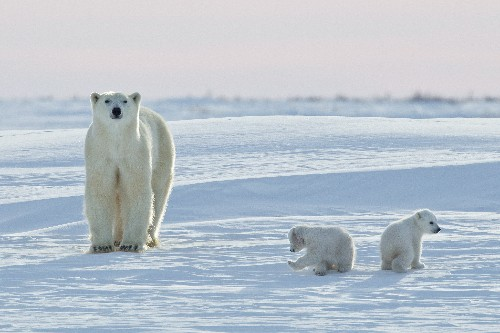 Annual Polar Bear Migration Under Way: How It Works and How Climate Change Could Be Impacting It