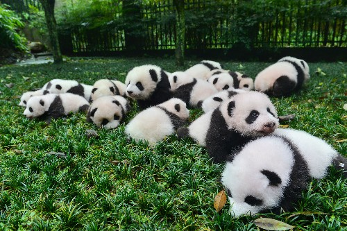 Pandas Have More Babies if They Can Pick Their Mates