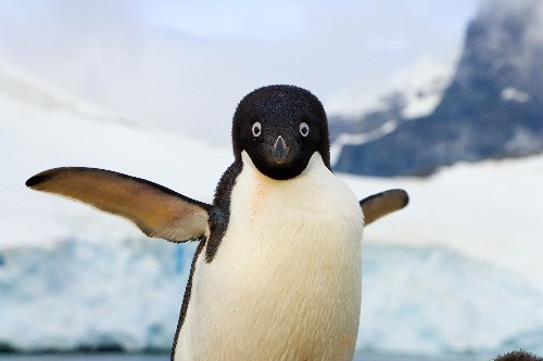 Why Did Penguins Stop Flying? The Answer Is Evolutionary