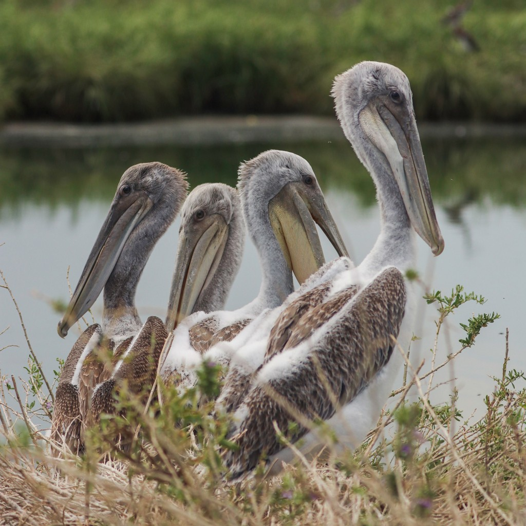 Critical pelican nesting ground restored, 10 years after BP oil spill