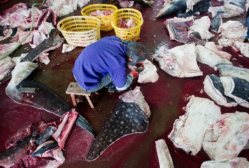 """Slaughterhouse Said to Process """"Horrifying"""" Number of Whale Sharks Annually"""