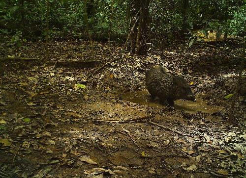Where Peccaries Wallow, Other Animals Follow
