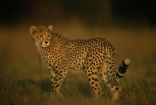 Long-Held Myth About Cheetahs Busted