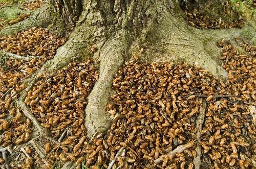 Cicadas Coming to U.S. East Coast This Spring