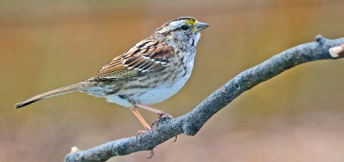 Huge decline in songbirds linked to common insecticide