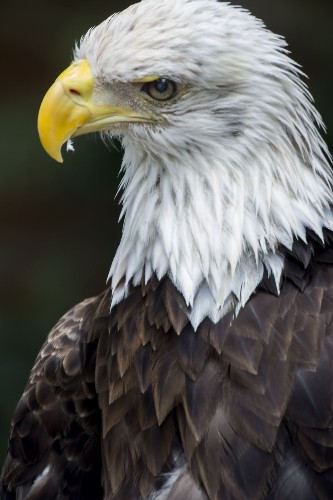 The Bald eagle Photo by Alex Morales — National Geographic Your Shot