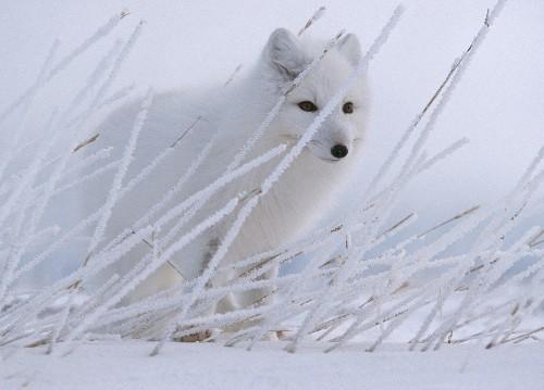 Extinct Fox Species With Supersharp Teeth Discovered in Tibet