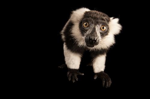 Madagascar's famous lemurs could lose their rainforest by 2080