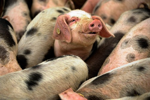 European Hunter-Gatherers Had Domesticated Pigs Earlier Than Thought