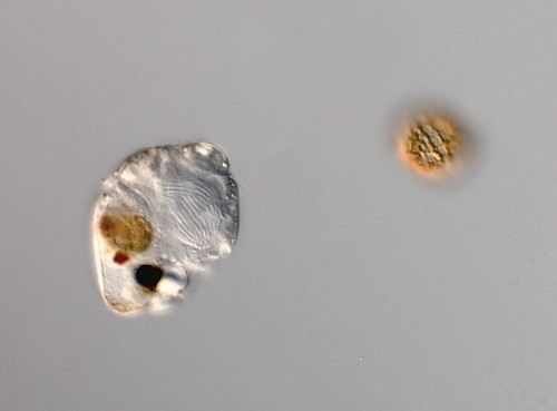 Single-Celled Creature Has Eye Made of Domesticated Microbes