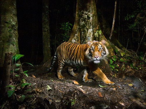 Dog Disease Infecting Tigers, Making Them Fearless