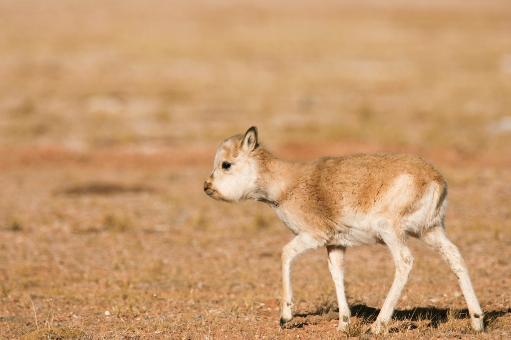A rare antelope is being killed to make $20,000 scarves