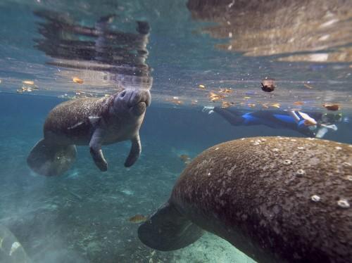 Florida by Water: Meet Wild Manatees