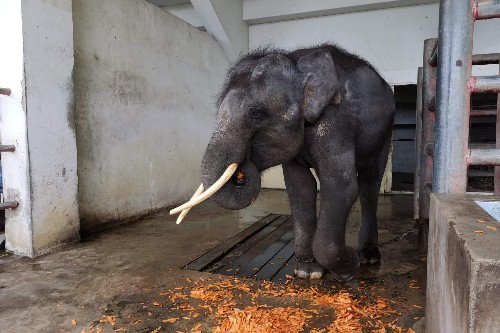The world responded to this captive elephant's plight. Now he has a new life.