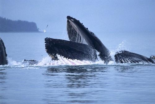 Humpback Whale Crittercam Video Reveals Bottom-Feeding Activity