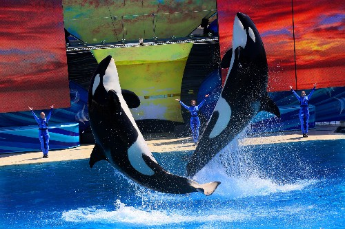 Orcas don't do well in captivity. Here's why.