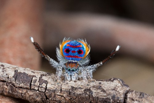 How peacock spiders use optical illusions to woo females