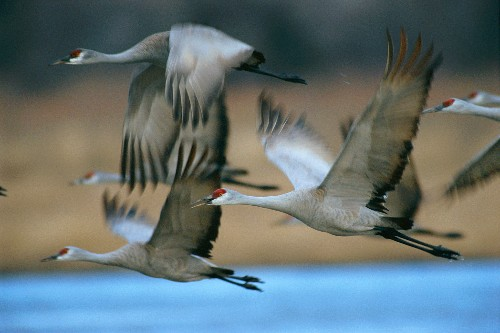 Alabama almost lost its sandhill cranes. Now, hunters again will target the 'sirloin of the sky.'