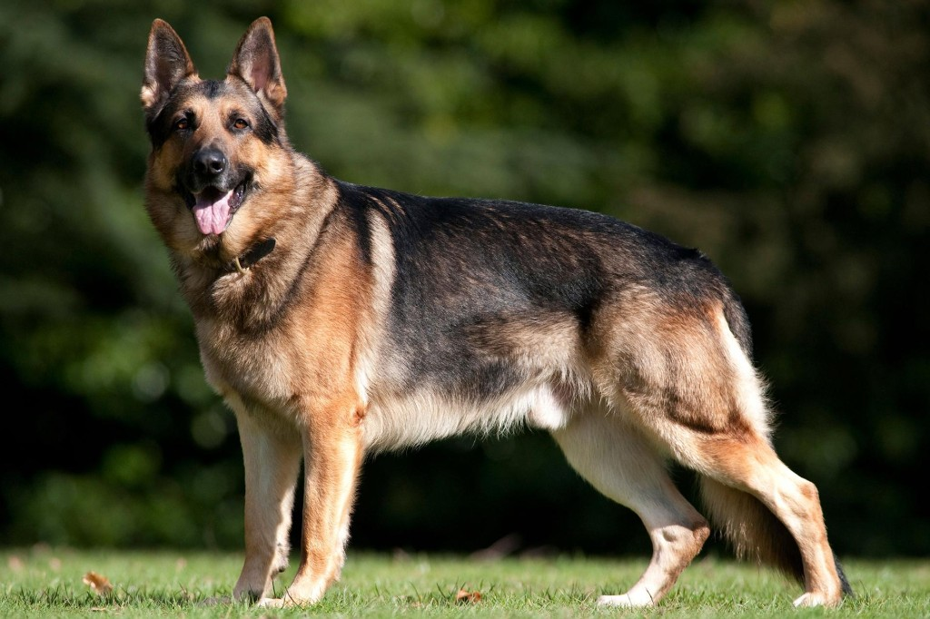 A German shepherd is first dog in the U.S. to test positive for the coronavirus