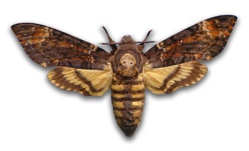 "Secret of ""Death"" Moth's Scary Squeak Revealed"