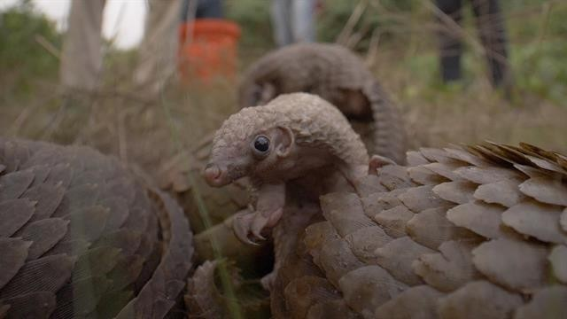 Nigerians fight to protect the world's most trafficked mammal