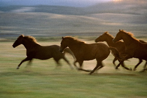 Speedy horses evolved only recently, says landmark equine study