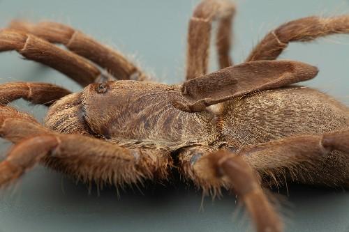 New 'astonishing' tarantula has strange horn on its back