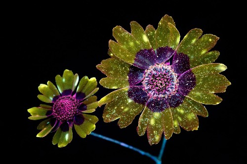 Pictures Capture the Invisible Glow of Flowers