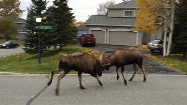 Watch Rare Video of a Moose Shedding an Antler