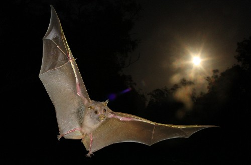 When It Comes to Echolocation, Some Bats Just Wing It